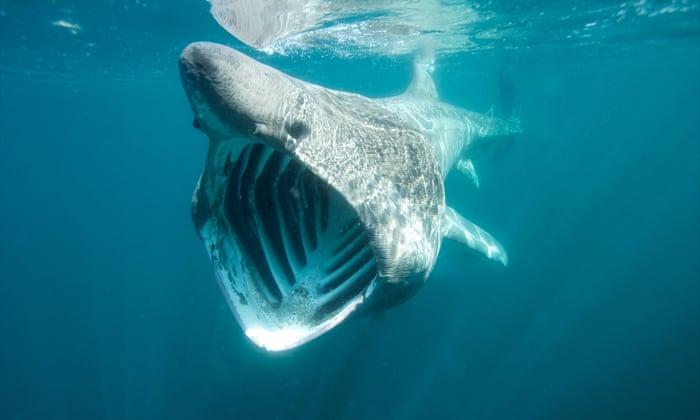 al sahawat times basking shark