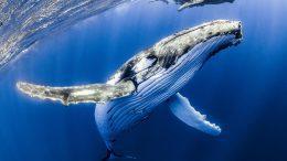 al sahawat times humpback whale