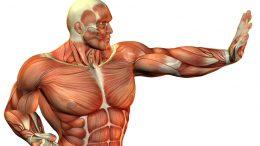 Al-Sahawat Times | Muscle Fibers