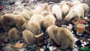 Al Sahawat Times Novaya Zemlya Polar Bears