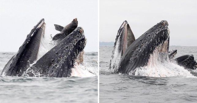 al sahawat times whale swallows sea lion whole
