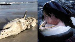 al sahawat times orca killing off great white sharks