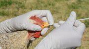 Al Sahawat Times Bird Flu